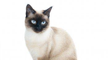 El siamés, un gato bello y delicado