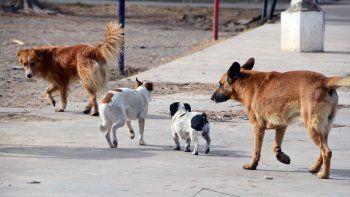 Estiman que en la ciudad hay al menos 140 mil perros sueltos.