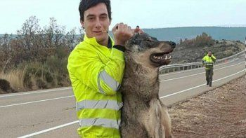 Atropelló a un lobo