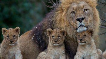 sacrificaron nueve cachorros de leon por una razon inedita