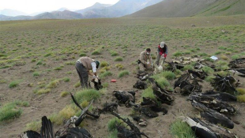 Encontraron 34 cóndores muertos y creen que fueron envenenados