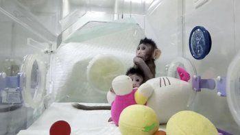 Nacieron dos monos clonados con la técnica de la oveja Dolly