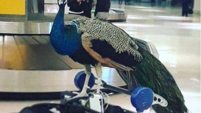 Una pasajera pretendía que el animal la acompañara en la cabina.