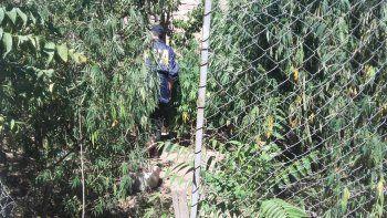Cipolletti: Mamá Mono tenía un bosque de marihuana