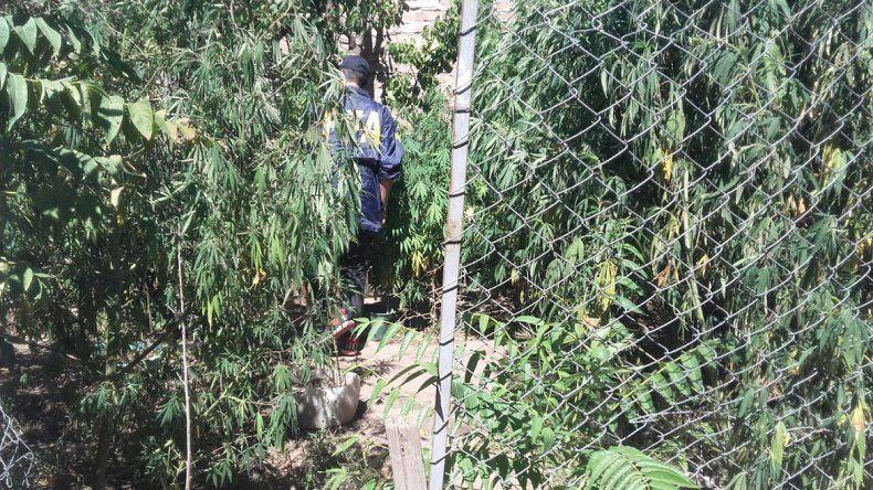 Cayó Mamá Mono, tenía un bosque de marihuana en el patio de la casa