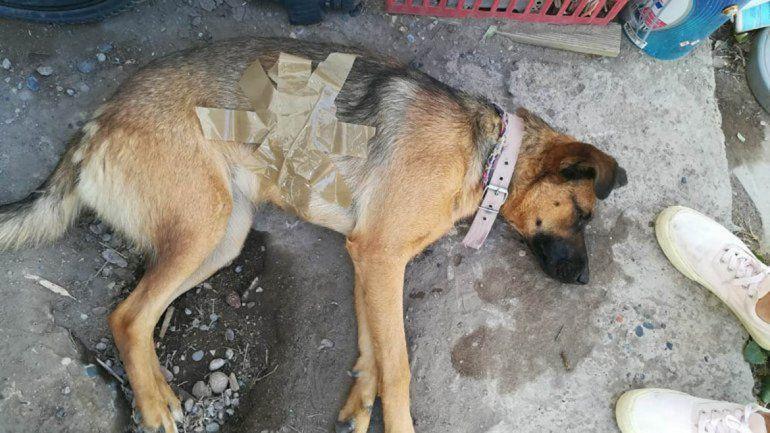 El perro y las heridas que recibió por el disparo.