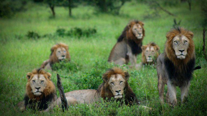 Un cazador fue cazado y devorado por leones