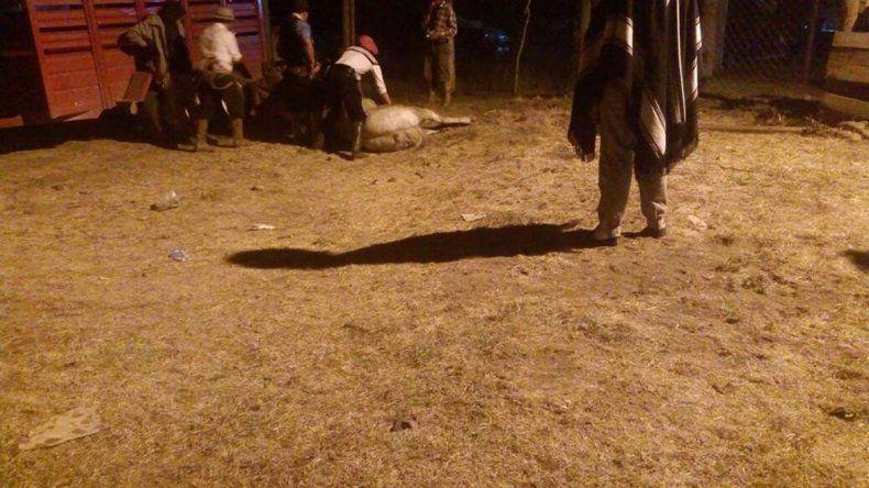 Al caballo lo sacaron del campo de jineteada pero ya estaba muerto.