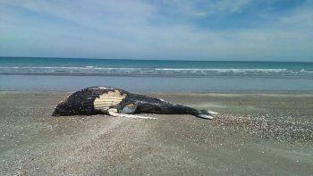 una ballena aparecio muerta en puerto san antonio este