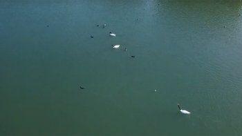 Llega el otoño: aparecieron los primeros cisnes de cuello negro en el Dique Ballester