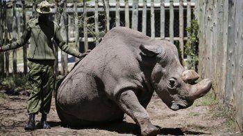 murio sudan, el ultimo rinoceronte blanco macho del mundo