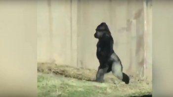 el gorila que sorprende caminando como un humano