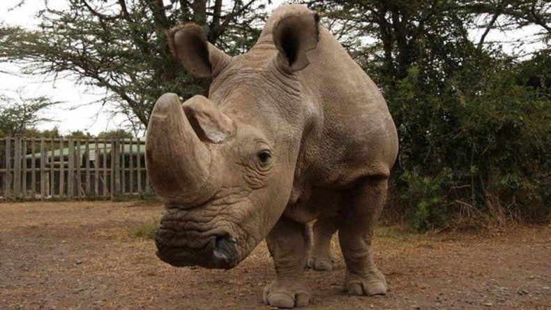 Empezaron a censar a rinocerontes en Kenia