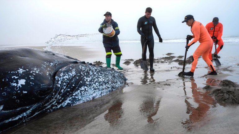 Intentan rescatar a una ballena varada