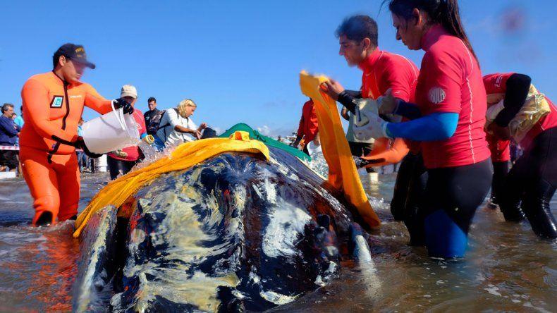 Punta Mogotes: intentan rescatar a una ballena varada en