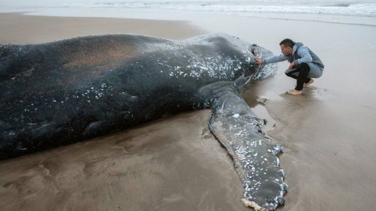 Murió la ballena que estaba varada en el balneario Punta Mogotes