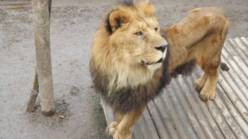 Temor: buscan a un león que anda suelto en La Plata