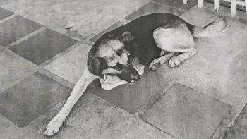 insolito operativo para capturar un perro profugo