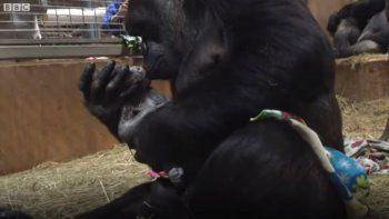 Tierna imagen del nacimiento de un gorila con su mamá