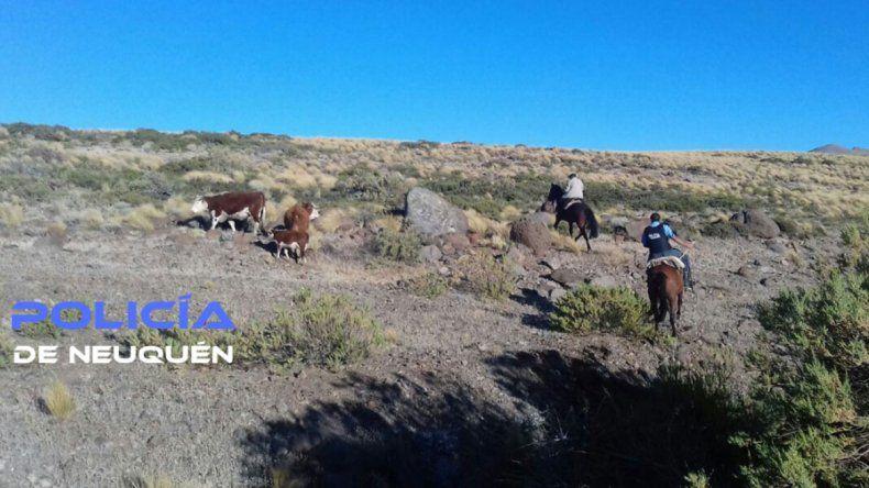 Le robaron tres vacas en Cutral Co y las encontraron en Pino Hachado