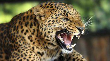 Dramático: un leopardo devoró a un nene de 3 años en Uganda