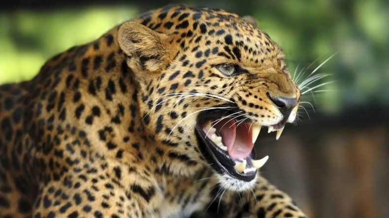 Un leopardo devoró a un nene de 3 años en Uganda