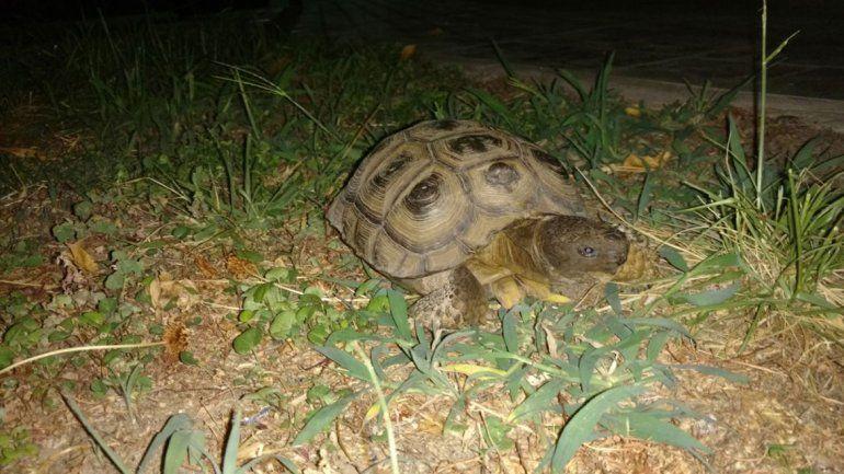 Un nene se robó una tortuga tras forzar el portón de una casa