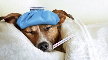 como bajar la fiebre que tiene tu perro
