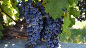 la adaptacion de las uvas frente al cambio climatico