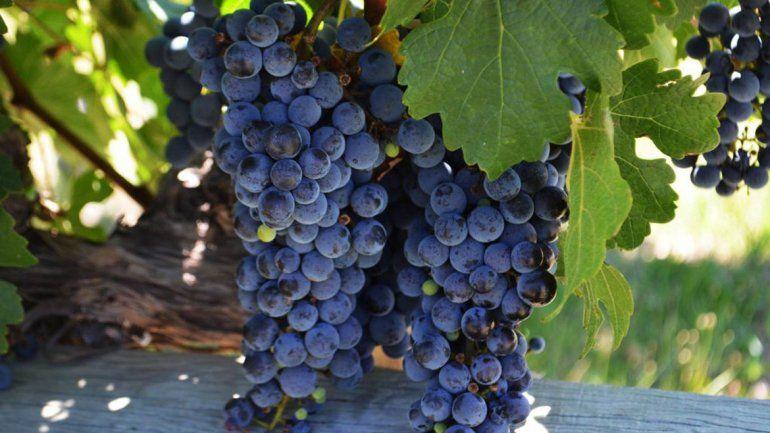 La adaptación de las uvas frente al cambio climático
