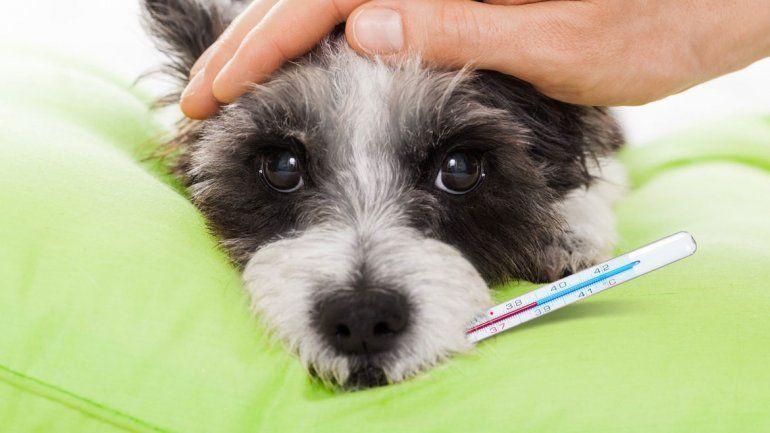 Los signos de que tu perro tiene cistitis