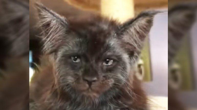 Conocé a Chimera, el gato que tiene cara de humano