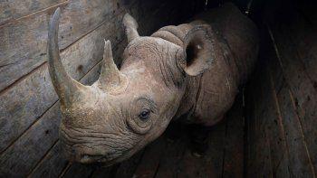 llevan rinocerontes a una reserva y muere la mitad