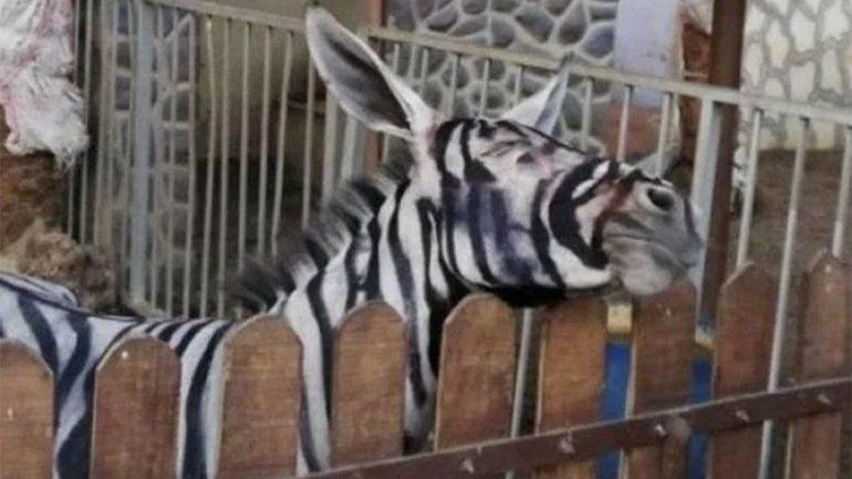 Maltrato y engaño: en un zoo le pintaron rayas a un burro para que parezca una cebra