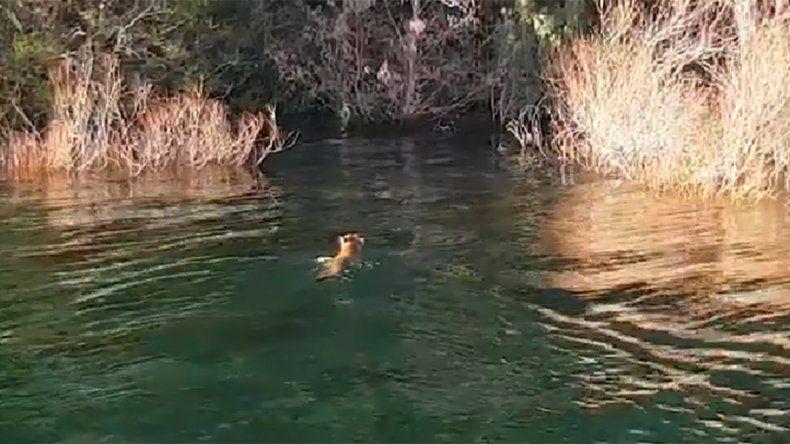 Filman a un puma nadando en las aguas del lago Lácar