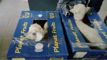 Decomisos: encontraron corderos vivos en cajas de banana