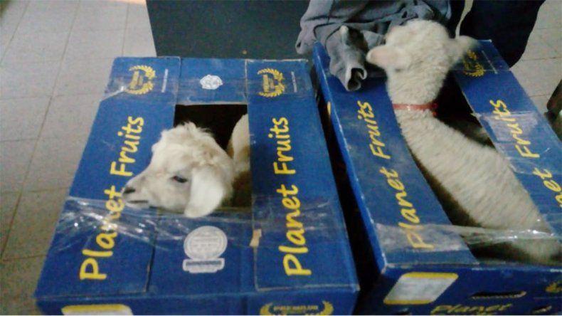 Decomisos: encuentran corderos vivos en cajas de banana en Río Colorado y secuestran 5000 kilos en Catriel
