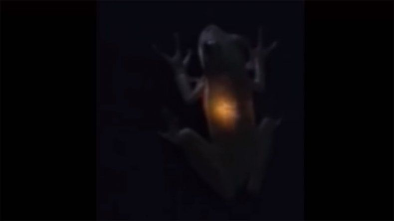 El extraño caso de la rana que emite luz