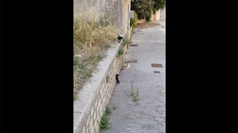 Una madre gata ayuda a su cría a trepar un muro