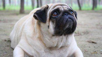 La obesidad canina