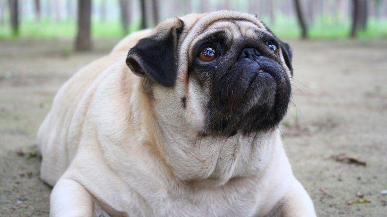 La obesidad canina, un trastorno común