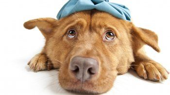 Los cálculos renales en nuestros perros