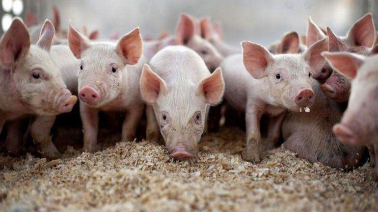Distinguen investigación referida a la sanidad de los cerdos