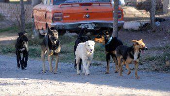 en la ciudad de neuquen hay 10 mil perros sueltos en las calles: la mayoria tiene dueno