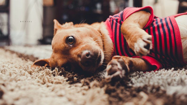 La insuficiencia renal en los perros