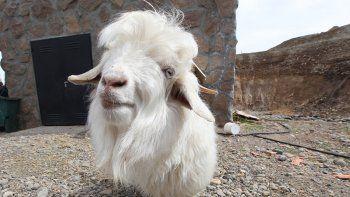 lolo, el chivito mas simpatico de las ovejas