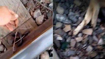 macabro: ataron a un perro a la vias y murio arrollado por el tren