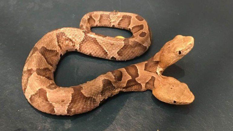 Encontró una serpiente de dos cabezas en el patio