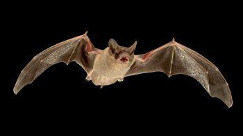 Piden a los vecinos no intentar cazar a los murciélagos