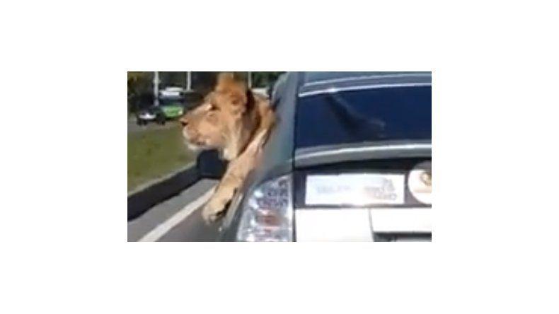 Mirá este león paseando por las calles de Rusia